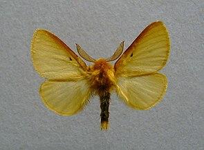 Lemonia taraxaci.jpg
