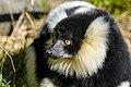 Lemur (26726459278).jpg