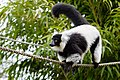 Lemur (26992422478).jpg