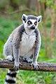 Lemur (36302403690).jpg