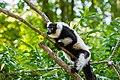 Lemur (36710277361).jpg