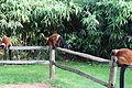 Lemur Artis Zoo 5.JPG