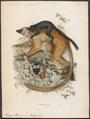 Lemur macaco - 1868 - Print - Iconographia Zoologica - Special Collections University of Amsterdam - UBA01 IZ19700026.tif
