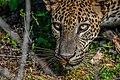 Leopard 2 (Panthera padus kotiya).jpg