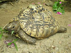 Leopards tortoise entire.jpg
