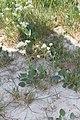 Lepidium cartilagineum - gronica.jpg