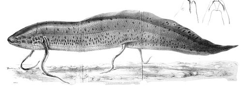 west african lungfish wikipedia