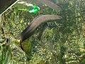 Lepidosiren paradoxa aquarium porte dorée Paris.JPG