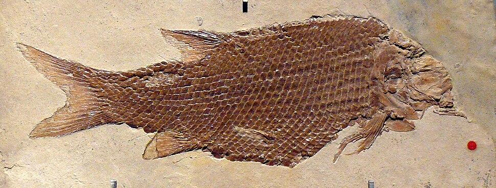 Lepidotes notopterus