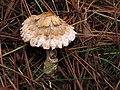 Lepiota sp. - tamaño pequeño (15546702520).jpg