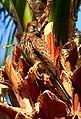 Les oiseaux de Siwa - panoramio (3).jpg