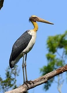 Lesser adjutant species of bird