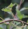 Leste vert (Lestes viridis).jpg