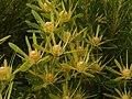 Leucadendron coniferum Betty's Bay male.jpg