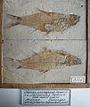 Leuciscus oeningensis.jpg