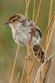Levaillant's Cisticola, Cisticola tinniens at Rietvlei Nature Reserve, Gauteng, South Africa (15678916591).jpg