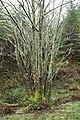 Lichen-covered tree, Craig Phadrig, Inverness - geograph.org.uk - 1247049.jpg
