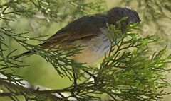 Likely an Inland thornbill.jpg