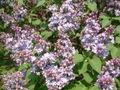 Lilak pospolity Syringa vulgaris RB3.JPG