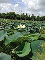 Lilies - panoramio.jpg