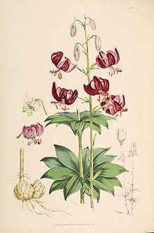 Саранка википедия цветок