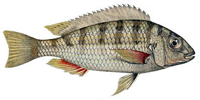 Description de l'image Limnotilapia dardennii.jpg.