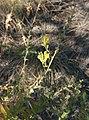 Linaria dalmatica 2.jpg