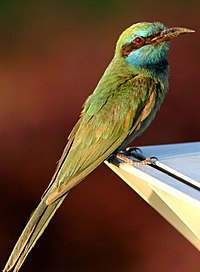 Little Green Bee-eater.jpg