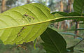 Little Praying Mantises on the leaves of Chukrasia tabularis 4.jpg