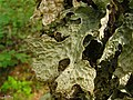 Lobaria pulmonaria (fertile) - Flickr - pellaea.jpg