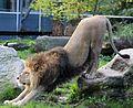 Loewe Panthera leo Tierpark Hellabrunn-4.jpg