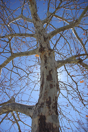 Platanus × acerifolia - London plane in NMSU
