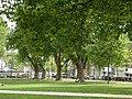 London Planes Queens Square - geograph.org.uk - 91527.jpg