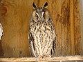 Long-eared Owl-Mindaugas Urbonas-1.jpg