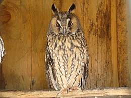 Long-eared Owl-Mindaugas Urbonas-1