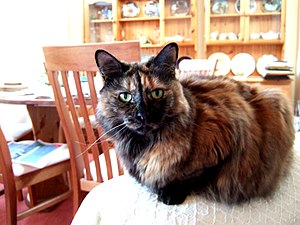 Tortoiseshell cat - A long-haired tortoiseshell cat