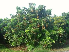 Longan tree at Pine Island Nursery.jpg