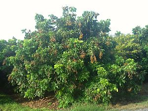 Longan - Image: Longan tree at Pine Island Nursery