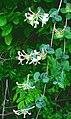 Lonicera caprifolium ENBLA03.jpg