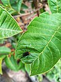 Lovebug on Guava Leaf 092720-01.jpg