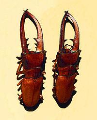 Lucanidae - Cyclommatus canaliculatus.JPG