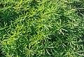 Lupinus polyphyllus in Canterbury Region 10.jpg