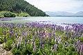 Lupinus sp. at Lake Tekapo, New Zealand 04.jpg
