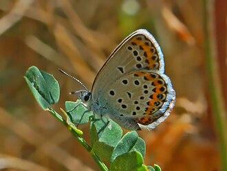 Plebejus idas - Plebejus idas. Female, underside