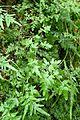 Lygodium japonicum kz1.jpg