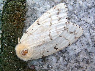 <i>Lymantria dispar dispar</i> species of moth