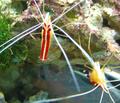 Lysmata amboinensis.png
