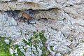 MG 1166 cucciolo di camoscio su una grotta del marsicano.jpg