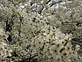 Macro-white-flowering-tree - West Virginia - ForestWander.jpg