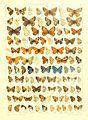 Macrolepidoptera15seit 0317.jpg